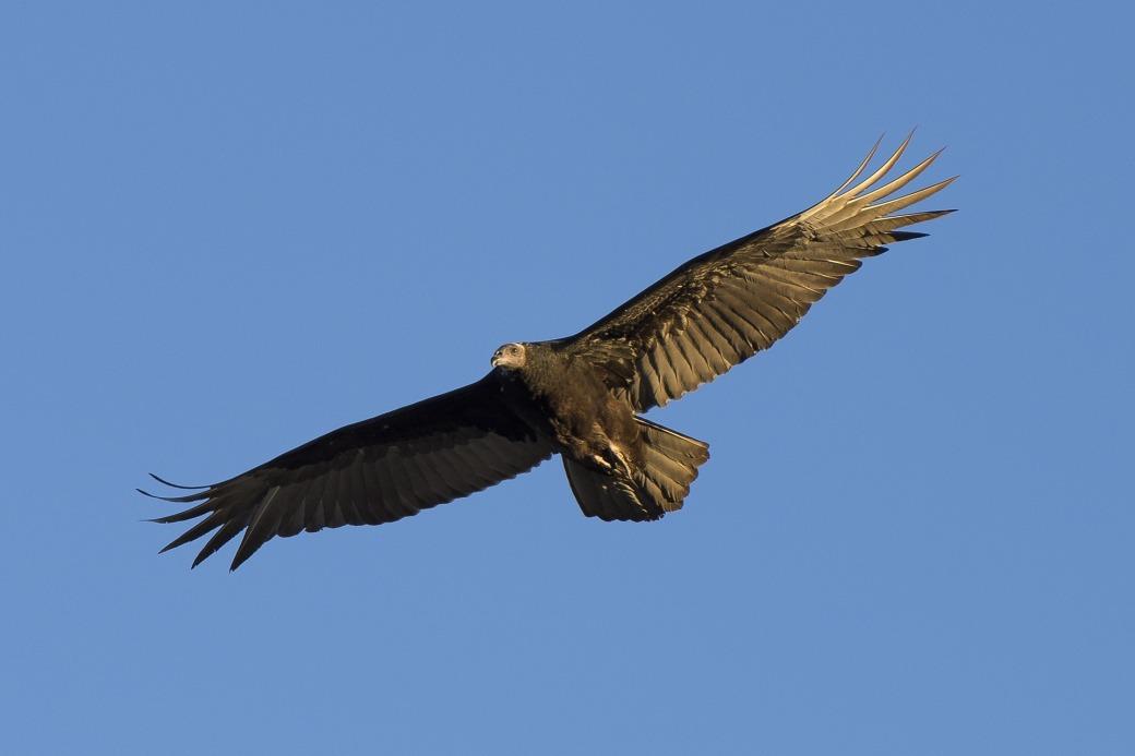 turkey-vulture-1112925_1920