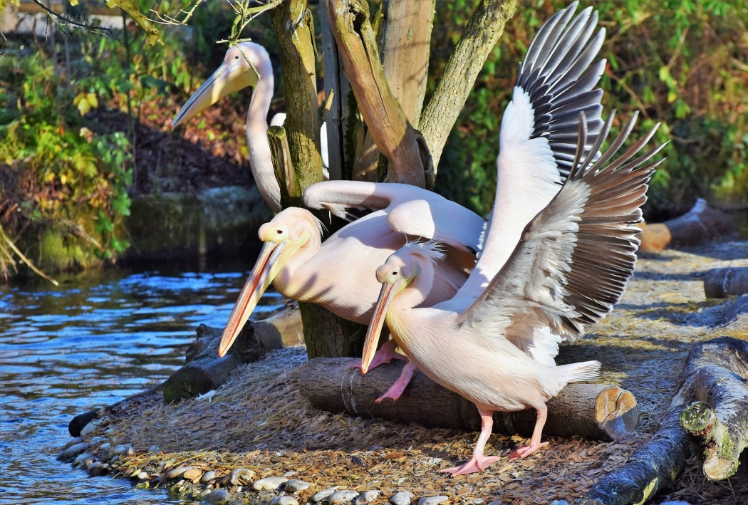 Symbolic Meaning Of Pelican Whispers Channels Prophecies Visions