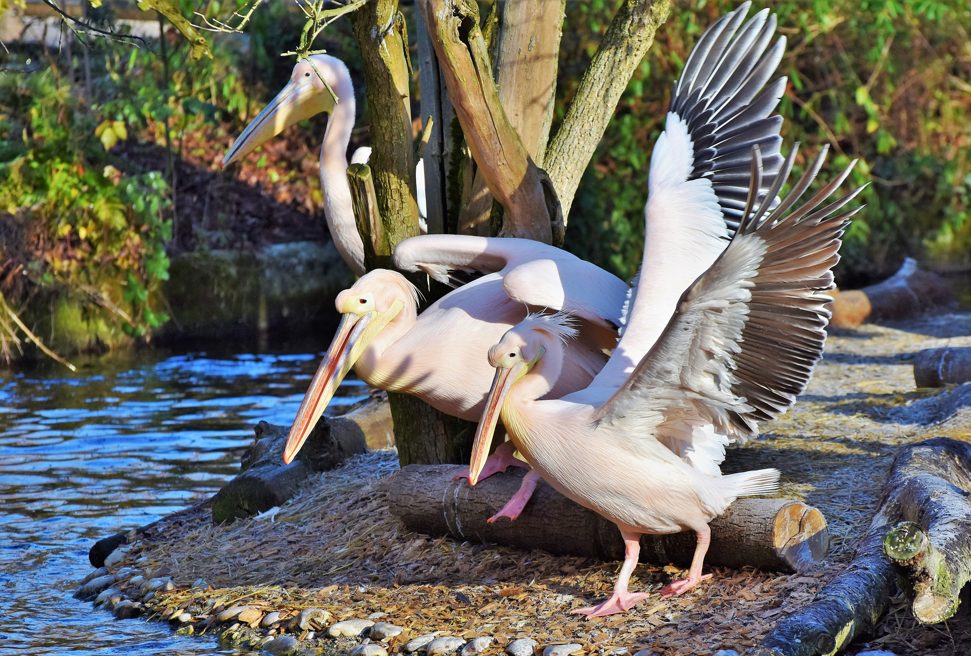 Pelican Symbolic Meaning Whispers Channels Prophecies Visions