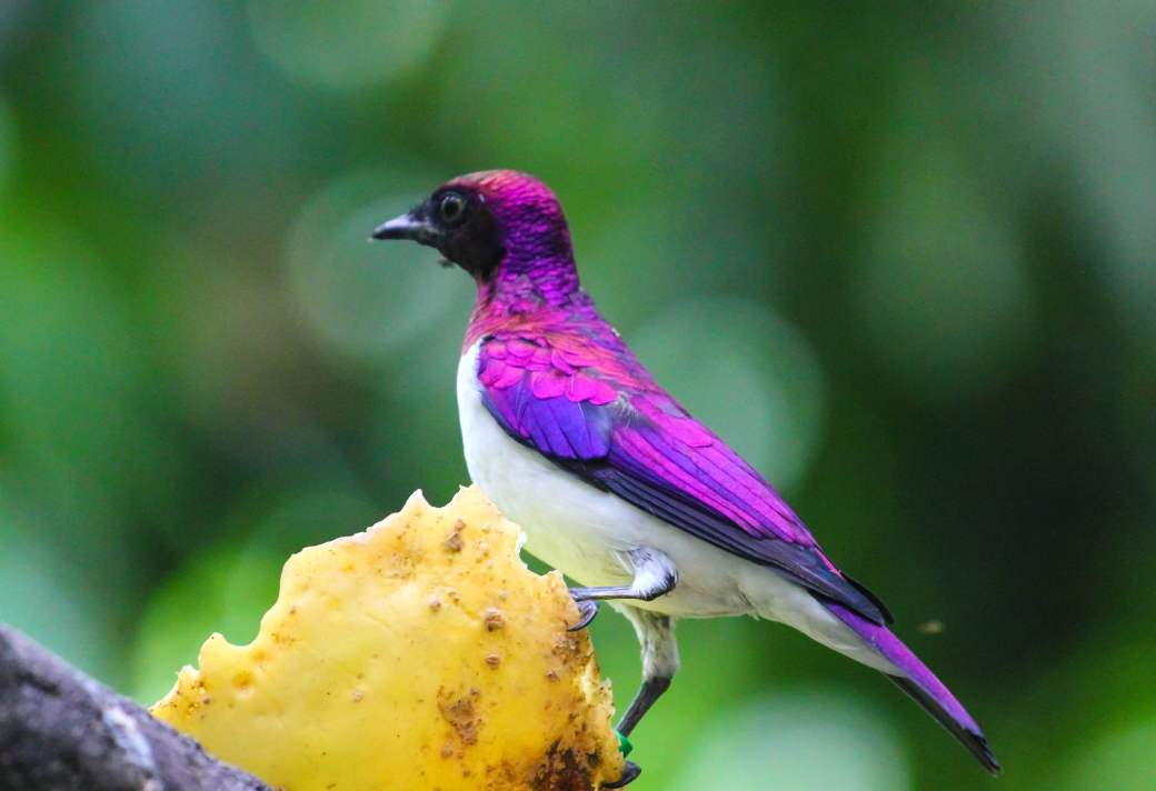 violet-backed-starling-jurong-bird-park-focus-photography-wallpaper
