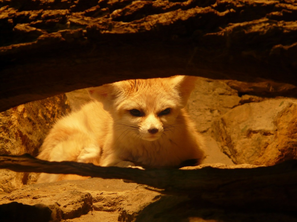 fennec-fox-77047_1920