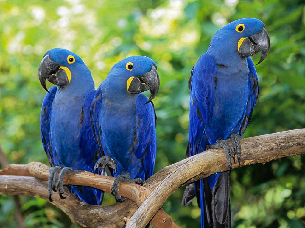Hyacinth macaw symbolic meaning whispers channels prophecies hyacinth macaw symbolic meaning whispers channels prophecies visions biocorpaavc