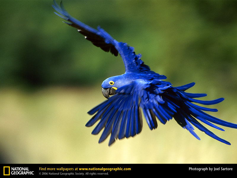 Hyacinth Macaw Symbolic Meaning – Whispers, Channels