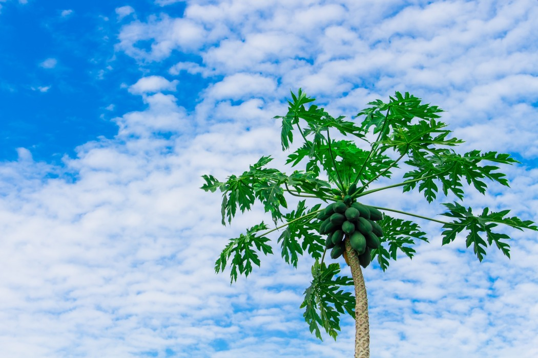 papaya-tree-2918226_1920