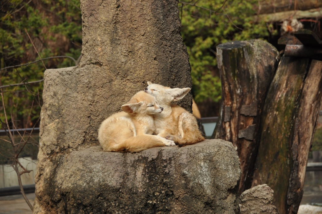 fennec fox in dreams – Whispers, Channels, Prophecies & Visions