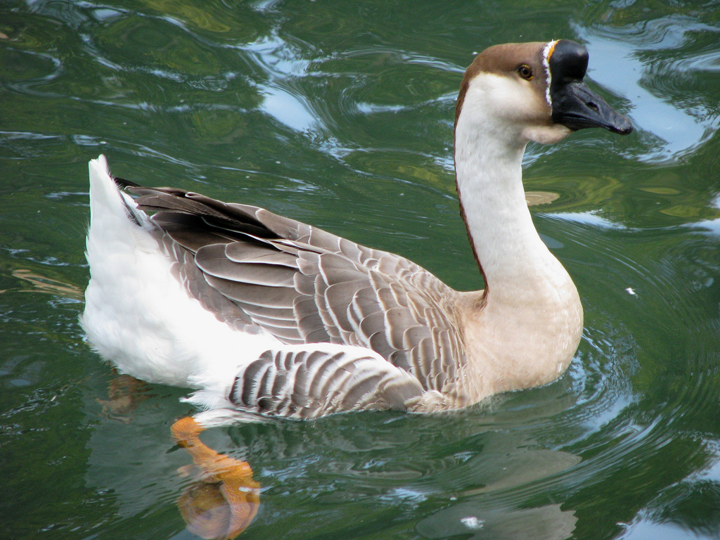 African Goose Symbolic Meaning – Whispers, Channels