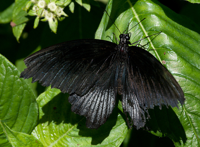 All Black Butterfly Symbolism – Whispers, Channels