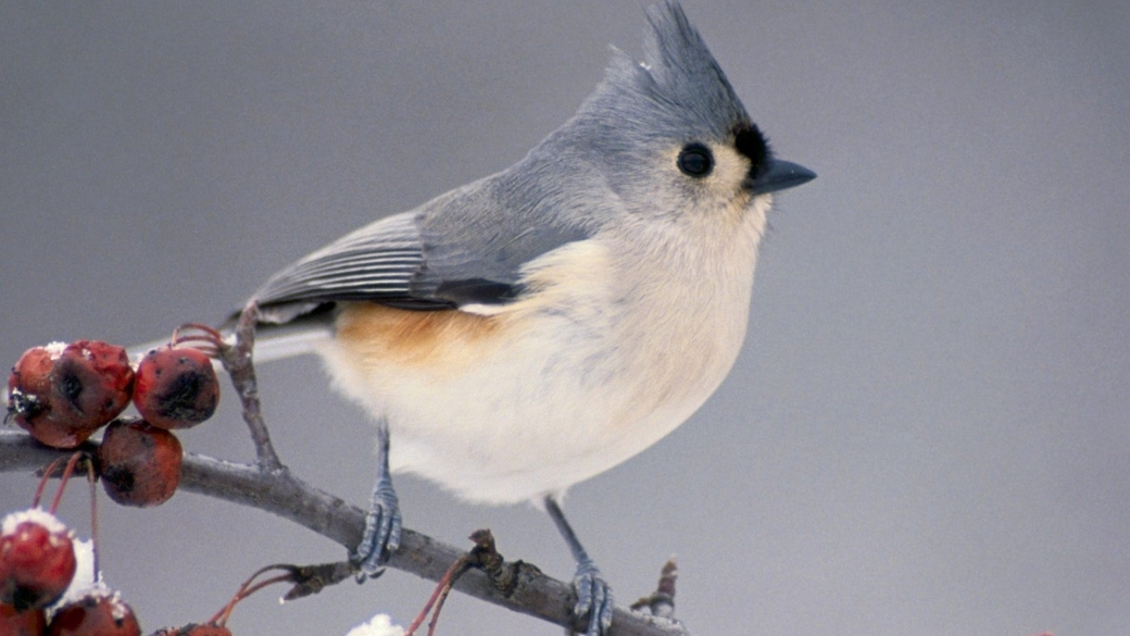 birds michigan branches tufted titmouse 1920x1080 wallpaper_www.animalhi.com_95
