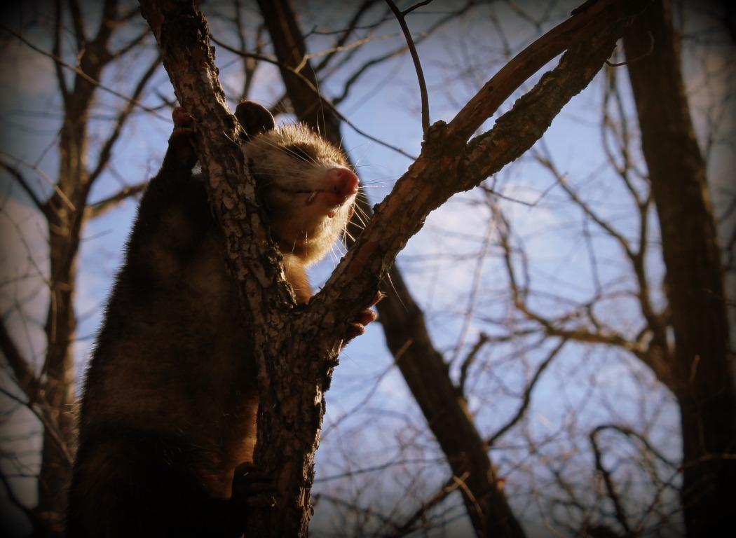 opossum-2255318_1920