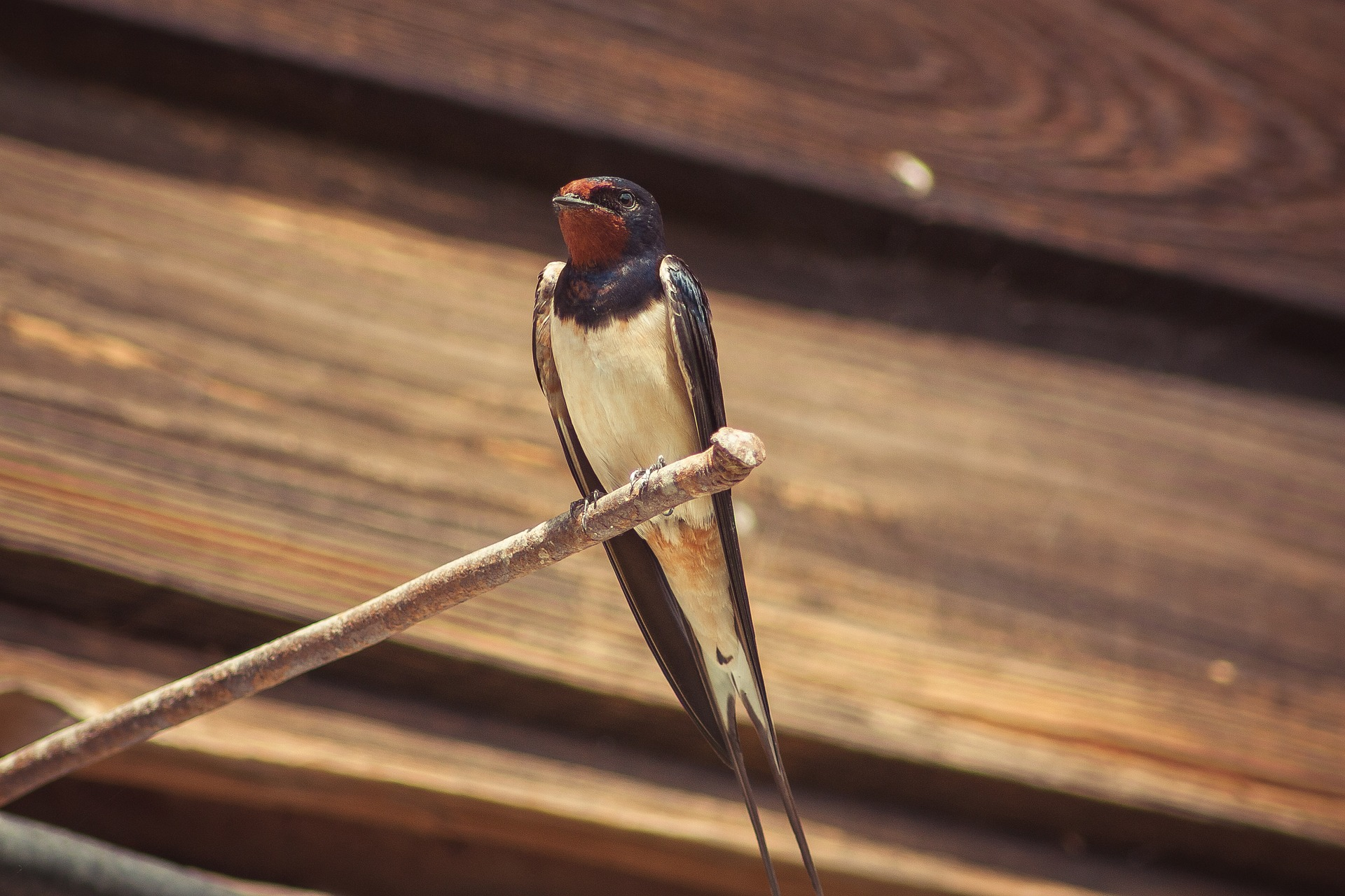 Barn Swallow Symbolic Meaning – Whispers, Channels, Prophecies & Visions